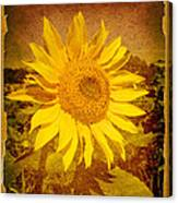 Of Sunflowers Past Canvas Print