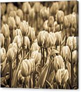 Of Tulips Past Canvas Print