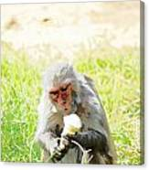 Oil Painting - A Monkey Eating An Ice Cream Canvas Print