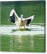 Oil Painting - Pelican Flapping Its Wings Canvas Print
