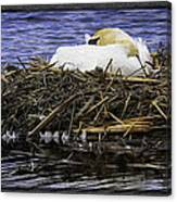 Oil Painting Nesting Swan Michigan Canvas Print