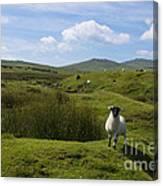 Okehampton Sheep  Canvas Print