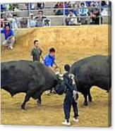 Okinawan Culture Bull Versus Bull Okinawan Bullfighting Canvas Print