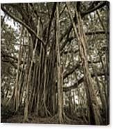 Old Banyan Tree Canvas Print