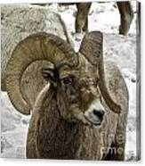 Old Big Horn Sheep Canvas Print