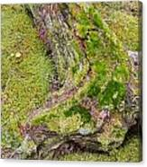 Old Decaying Lichens Moss Covered Taiga Tree Trunk Canvas Print