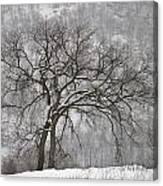 Old Elm Canvas Print