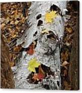 Old Fallen Birch Canvas Print