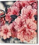 Old Fashion Azalea Canvas Print