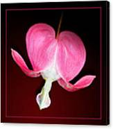 Old-fashioned Bleeding Heart Flower Canvas Print