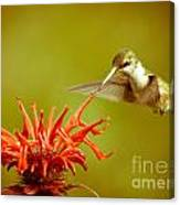 Old Fashioned Hummingbird Canvas Print