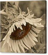 Old Fashioned Sunflower Canvas Print