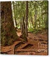 Old Growth Cedar At Cheakamus Lake Canvas Print