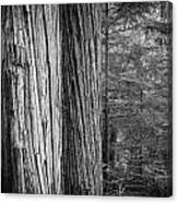 Old Growth Cedars Glacier National Park Bw Canvas Print