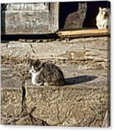Old Knox Church Cats #2 Canvas Print