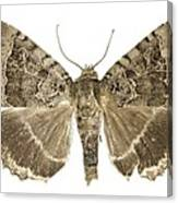 Old Lady Moth Canvas Print