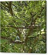 Old Linden Tree Canvas Print