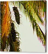 Old Palm Canvas Print