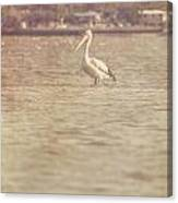 Old Pelican Photograph Canvas Print