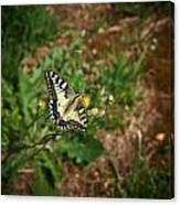 Old World Swallowtail. Montorfano. Cologne Canvas Print