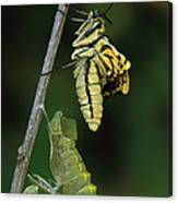 Oldworld Swallowtail Butterfly Canvas Print