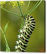 Oldworld Swallowtail Caterpillar Canvas Print