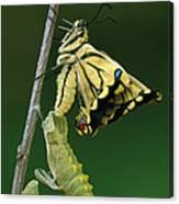 Oldworld Swallowtail Emerging Canvas Print
