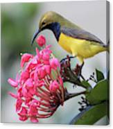 Olive-backed Sunbird Male With Flower Canvas Print