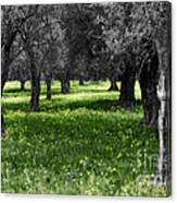 Olive Grove Italy Cbw Canvas Print
