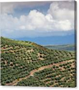 Olive Trees In A Field, Ubeda, Jaen Canvas Print