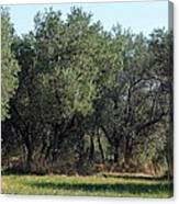 Olive Trees Of Provence Canvas Print