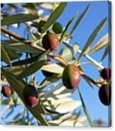 Olives (olea Europaea) On A Tree Canvas Print