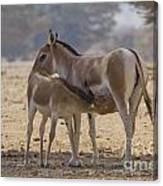 Onager Equus Hemionus 2 Canvas Print