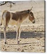 Onager Equus Hemionus Canvas Print