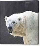 One Angry Polar Bear Canvas Print