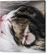 One Day Old Kitten Breastfeeding Canvas Print