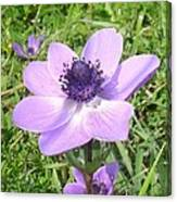 One Delicate Pale Lilac Anemone Coronaria Wild Flower Canvas Print