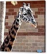 One Giraffe Canvas Print