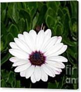 One Hit Wonder Gerbera Daisy Canvas Print