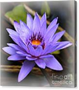 One Purple Water Lily With Vignette Canvas Print