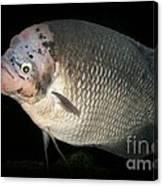 One Strange Fish Canvas Print