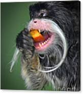 One Very Hungy Emperor Tamarin Monkey Canvas Print