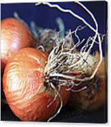 Onion Roots Canvas Print