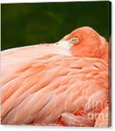 Flamingo With An Open Eye Canvas Print