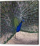 Open Feathers Canvas Print