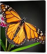 Open Wings Monarch Butterfly Canvas Print