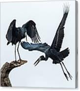 Openbill Storks Flying, Tarangire Canvas Print