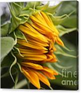 Opening Sunflower Canvas Print
