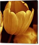 Opening Tulip Flower Golden Monochrome Canvas Print