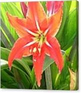 Orange Amaryllis Flower Blooms In Springtime Canvas Print